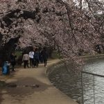 Cherry blossoms gorgeous at the Tidal Basin