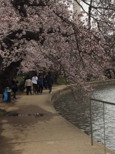 Cherry Blossom Tours by Nonpartisan Pedicab